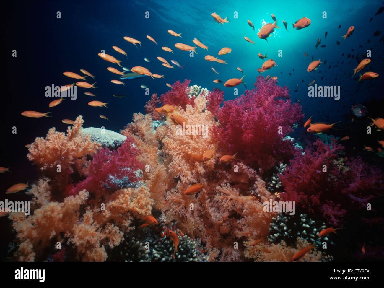 (Pseudanthias squamipinnis) schooling amongst Alcynarian soft corals (Dendronephthya). Egypt - Red Sea - Stock Image