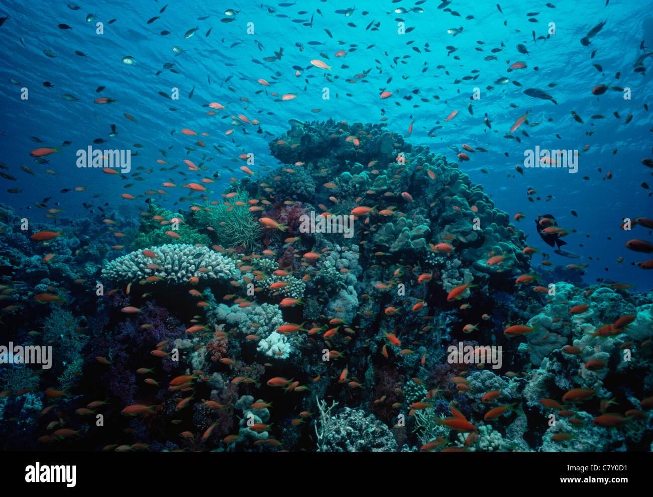 Scalefin Anthias (Pseudanthias squamipinnis) schooling on coral reef. Egypt - Red Sea - Stock Image