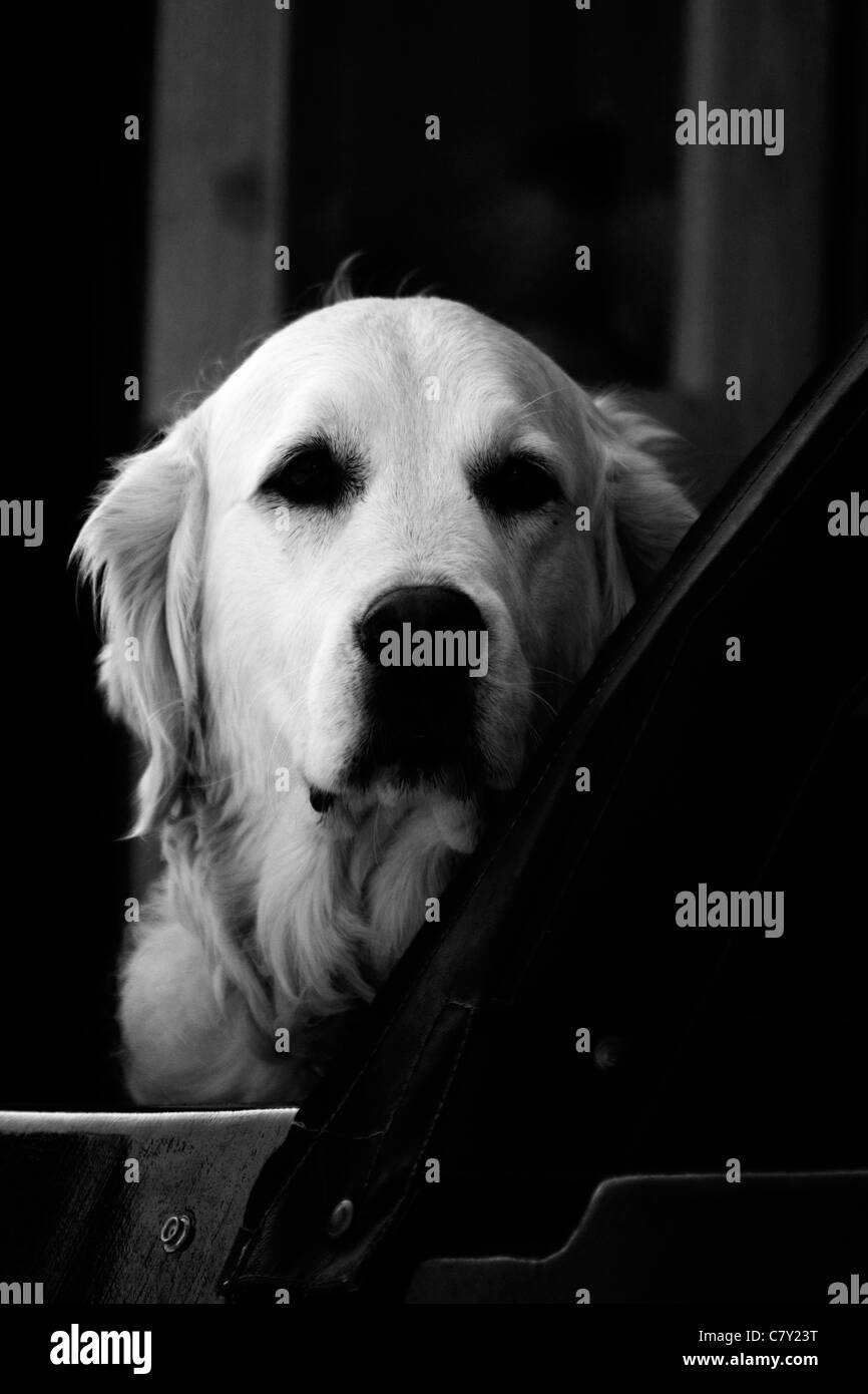 Dog on a canal barge looking out Canis lupus familiaris Black and White - Stock Image