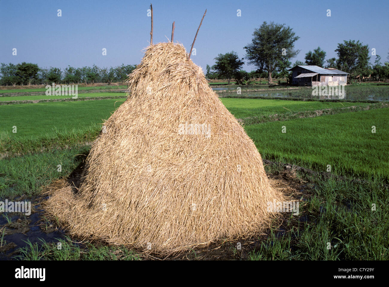 Stack of rice straw on the field after harvest, Luzon, Philippines, February - Stock Image