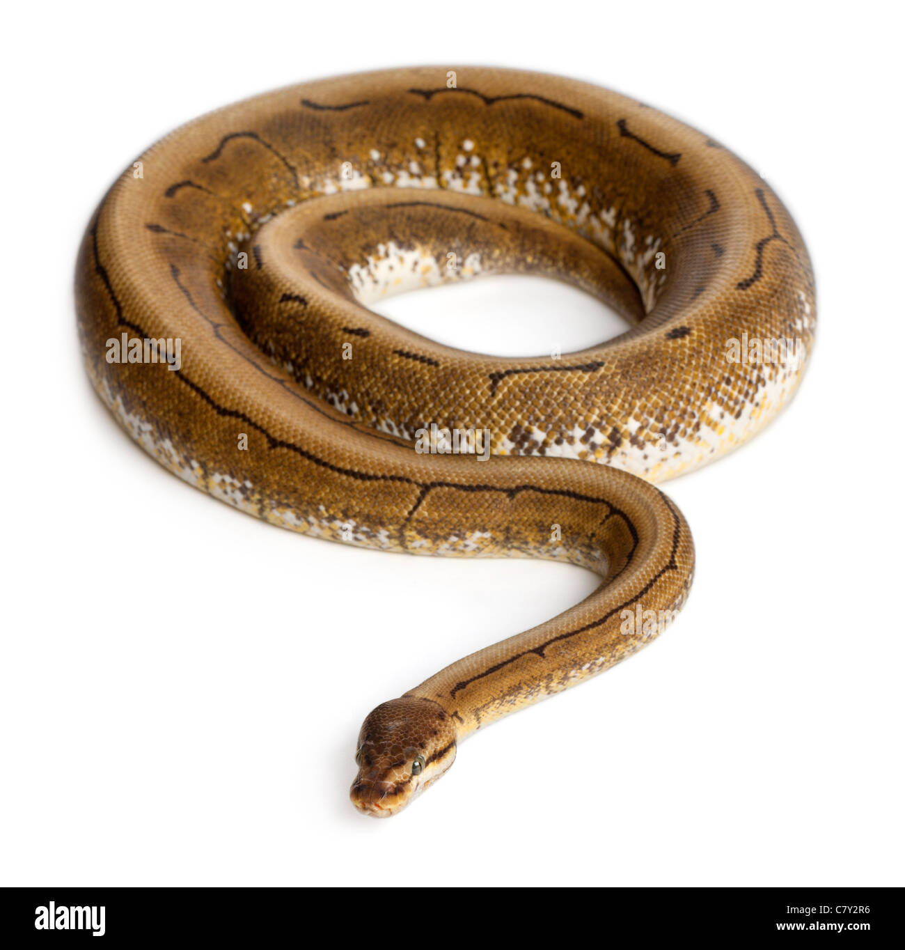 Spinner Royal python, ball python, Python regius, 2 years old, in front of white background - Stock Image