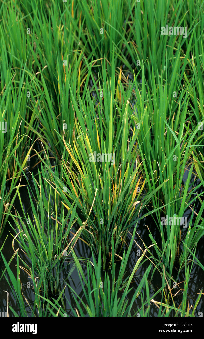 Discolouration on rice plants infected by tungro virus - Stock Image