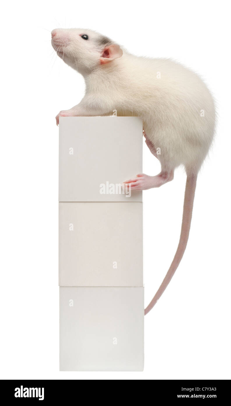 Common rat or sewer rat or wharf rat, Rattus norvegicus, 4 months old, standing on blocks in front of white background - Stock Image