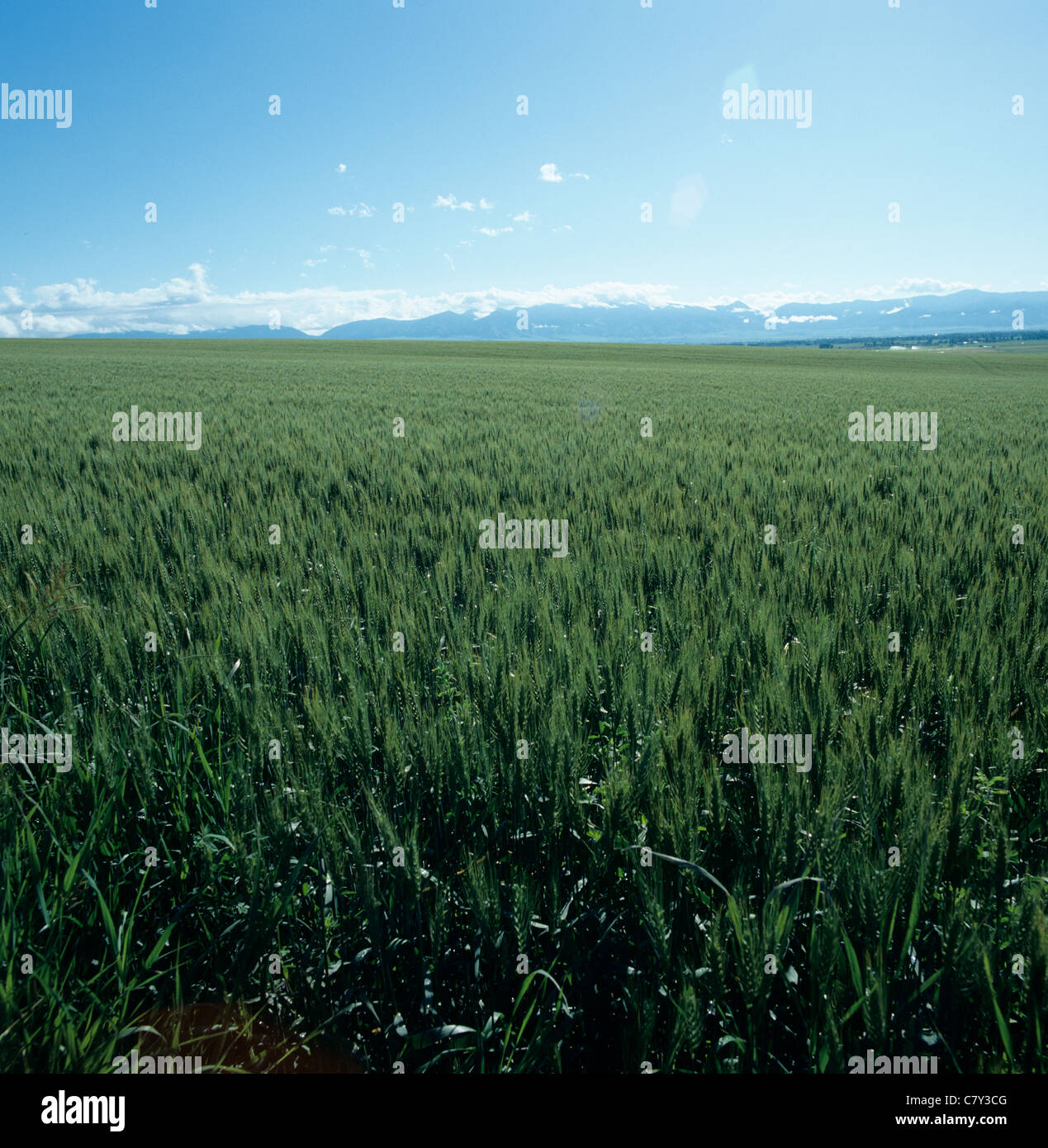 Bearded wheat crop in unripe green ear lit by late afternoon sunshine Montana, USA - Stock Image
