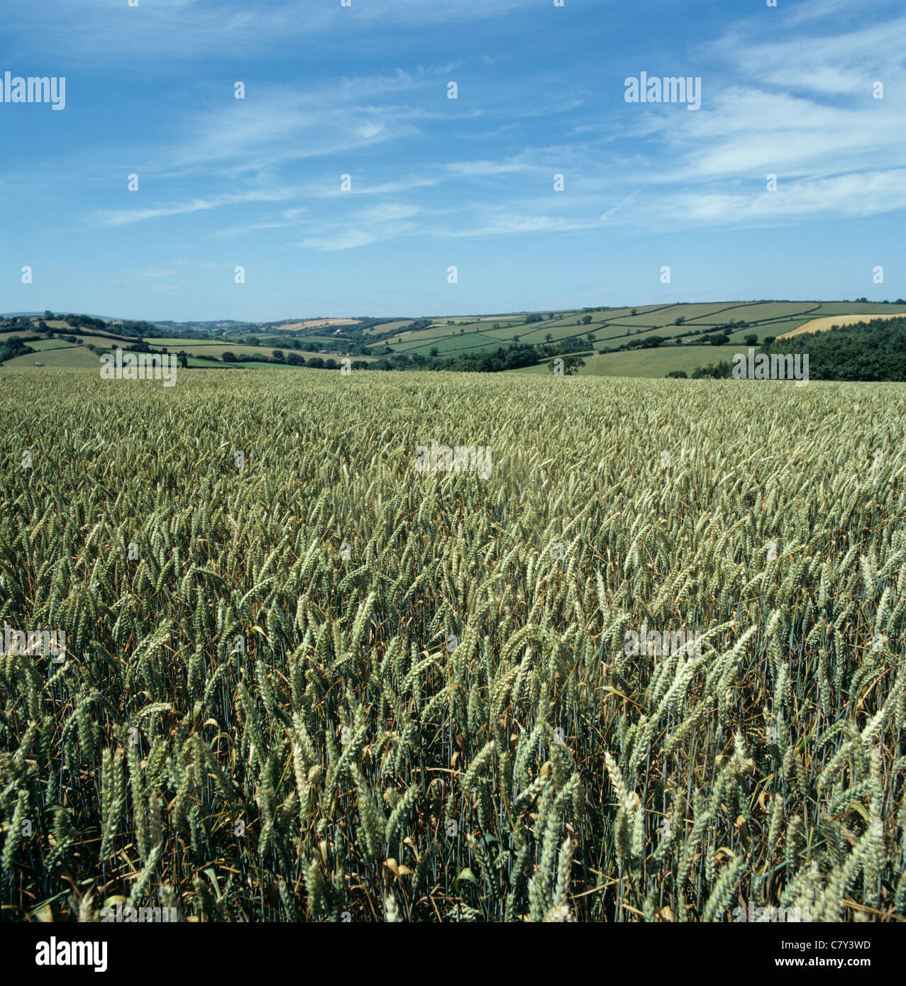 Wheat crop in ear and rolling farmland, North Dartmoor, Devon - Stock Image