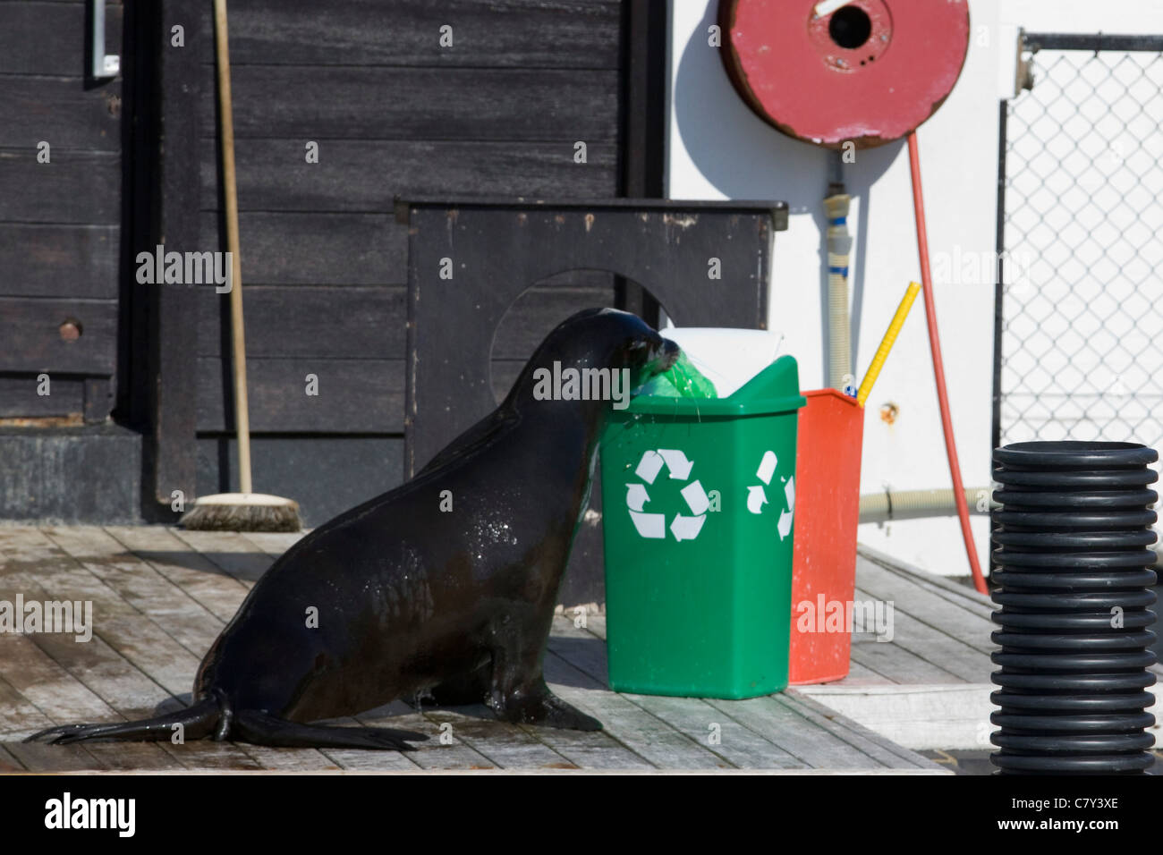 Pinniped Sea Lion showing off his skills by Recycling a Plastic Bottle at a show in England - Stock Image