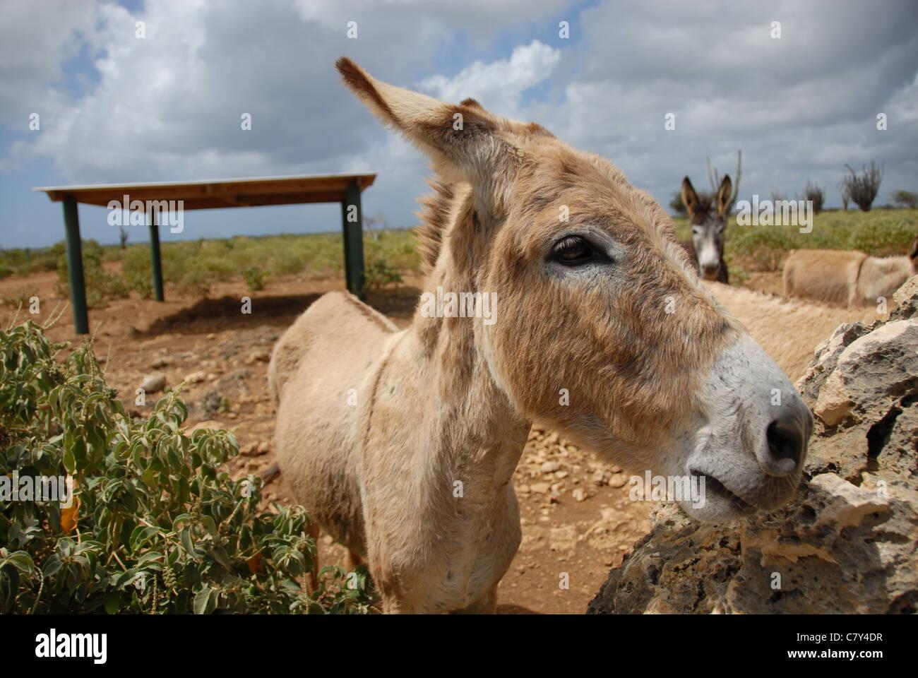 donkeys at the Donkey Sanctuary, Bonaire, Dutch Antilles Stock Photo