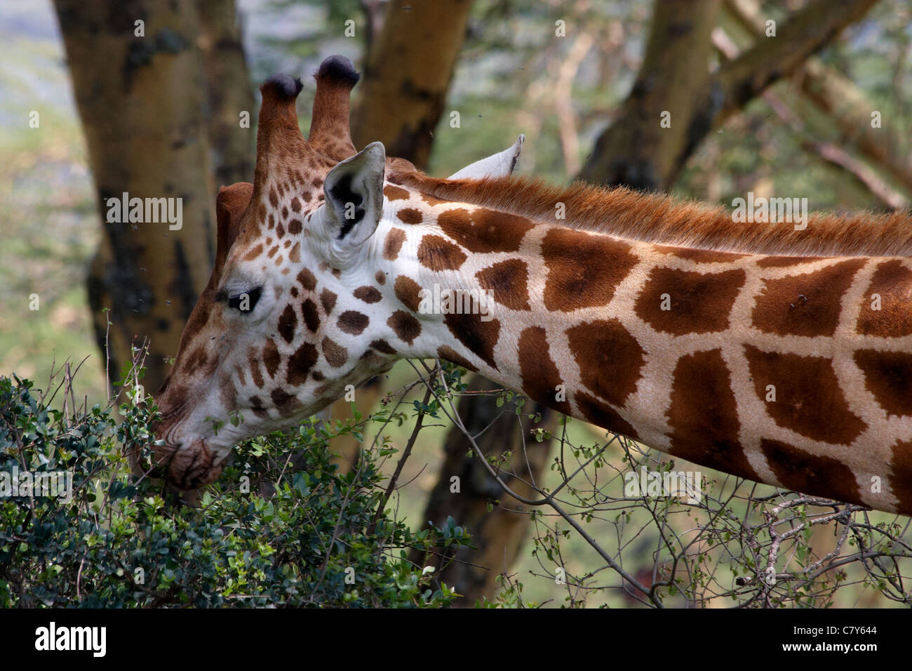 Rothschild's Giraffe (Giraffa camelopardalis rothschildi) browsing - portrait - Stock Image