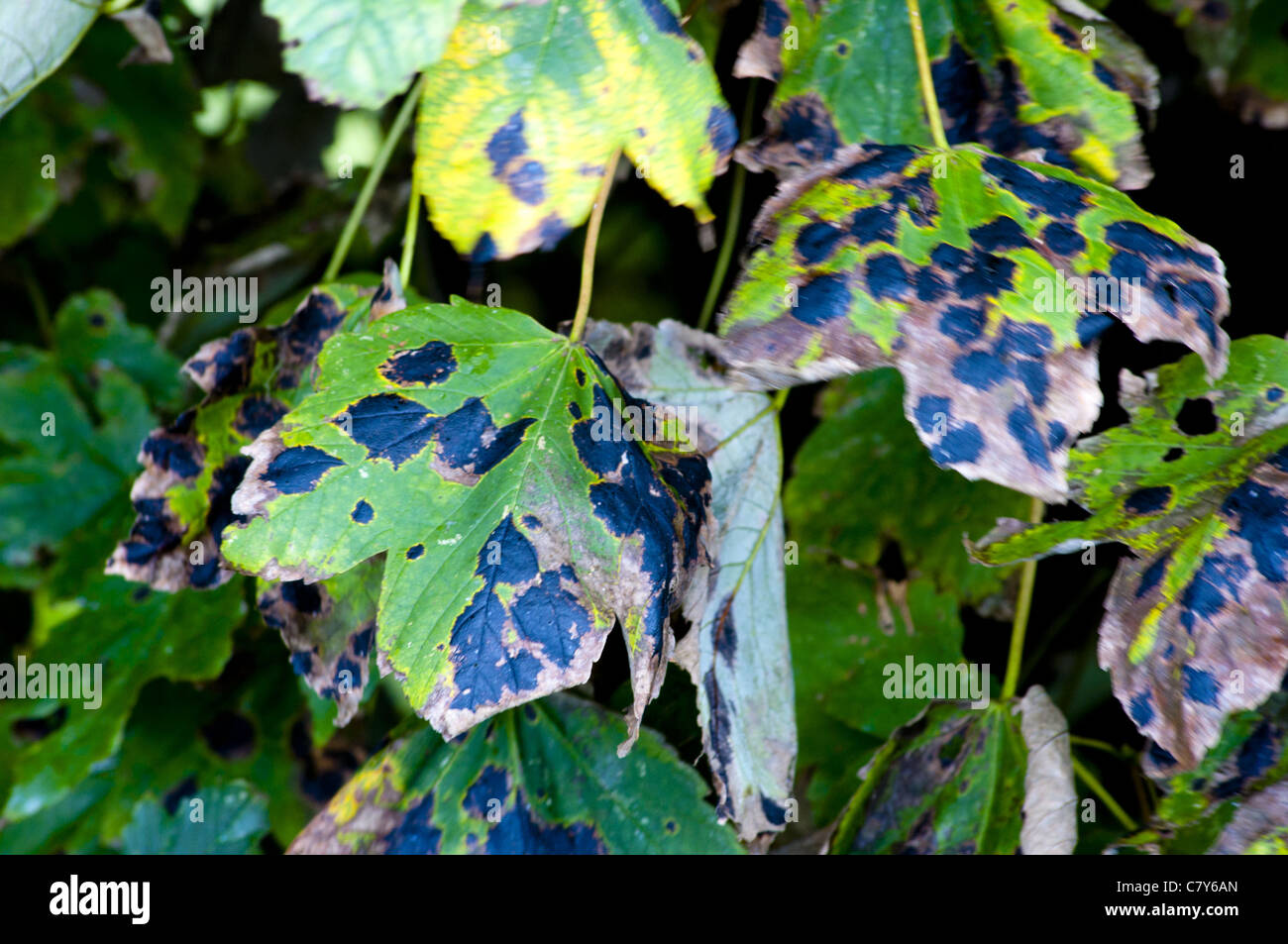 Sycamore leaf with black tar spot  disease - Stock Image