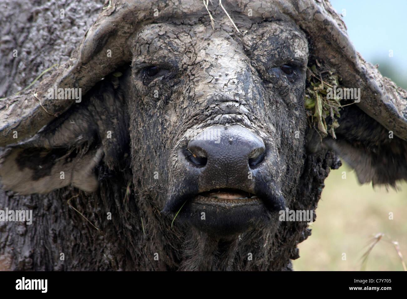 African Buffalo (Syncerus caffer) - Stock Image
