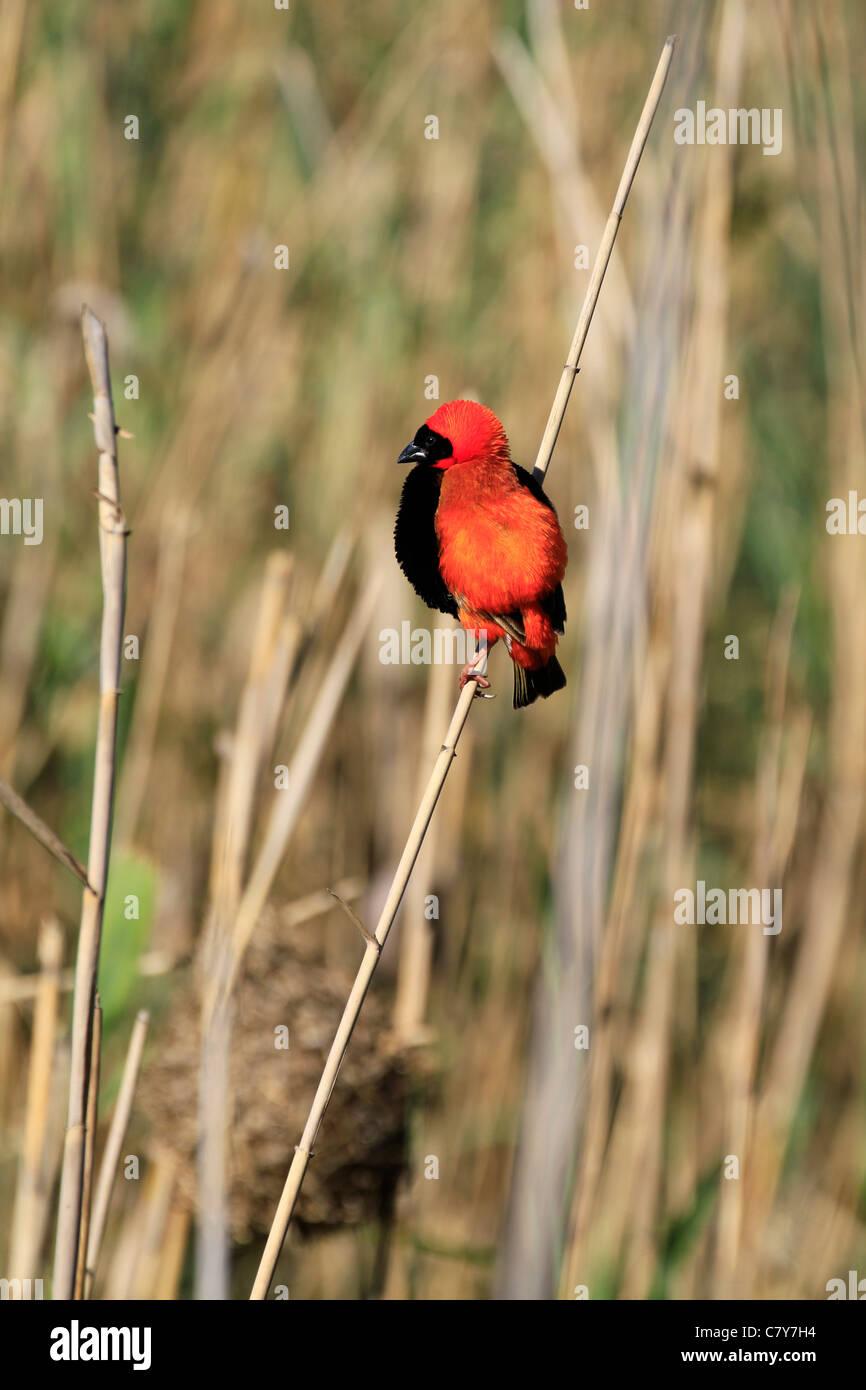 Southern Red Bishop (Euplectes orix) bird. - Stock Image