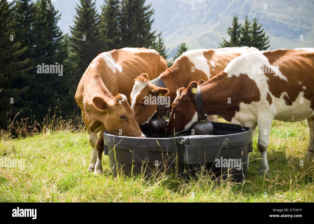 Switzerland, Cows, Animals, Alps, Switzerland Sun, Cows Grazing, Drinking, Cow Bells - Stock Image