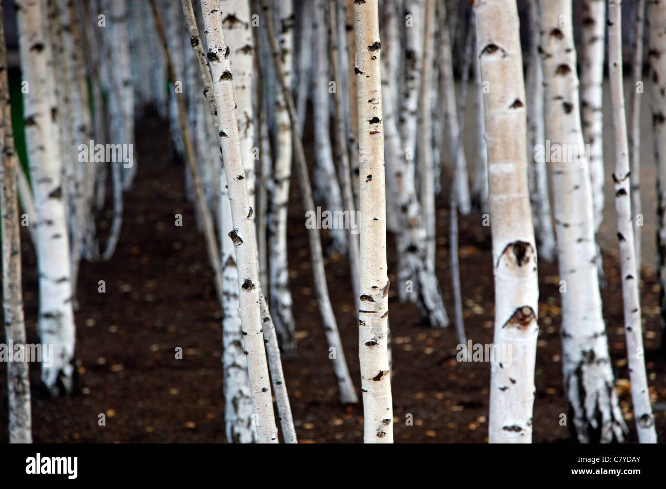 Silver birch trees outside the Tate Modern in London - Stock Image
