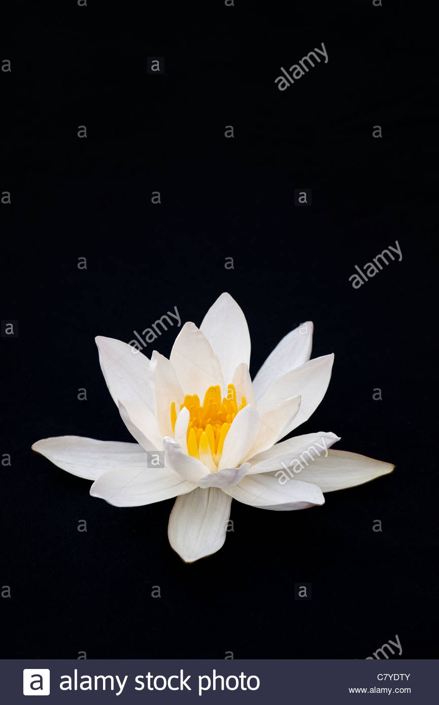 Water Lilies Flowers Background Stock Photos Water Lilies Flowers