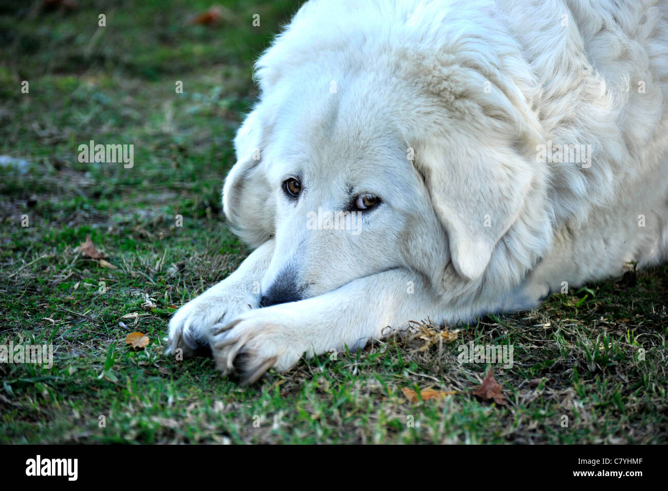 A Maremma sheepdog at rest. - Stock Image