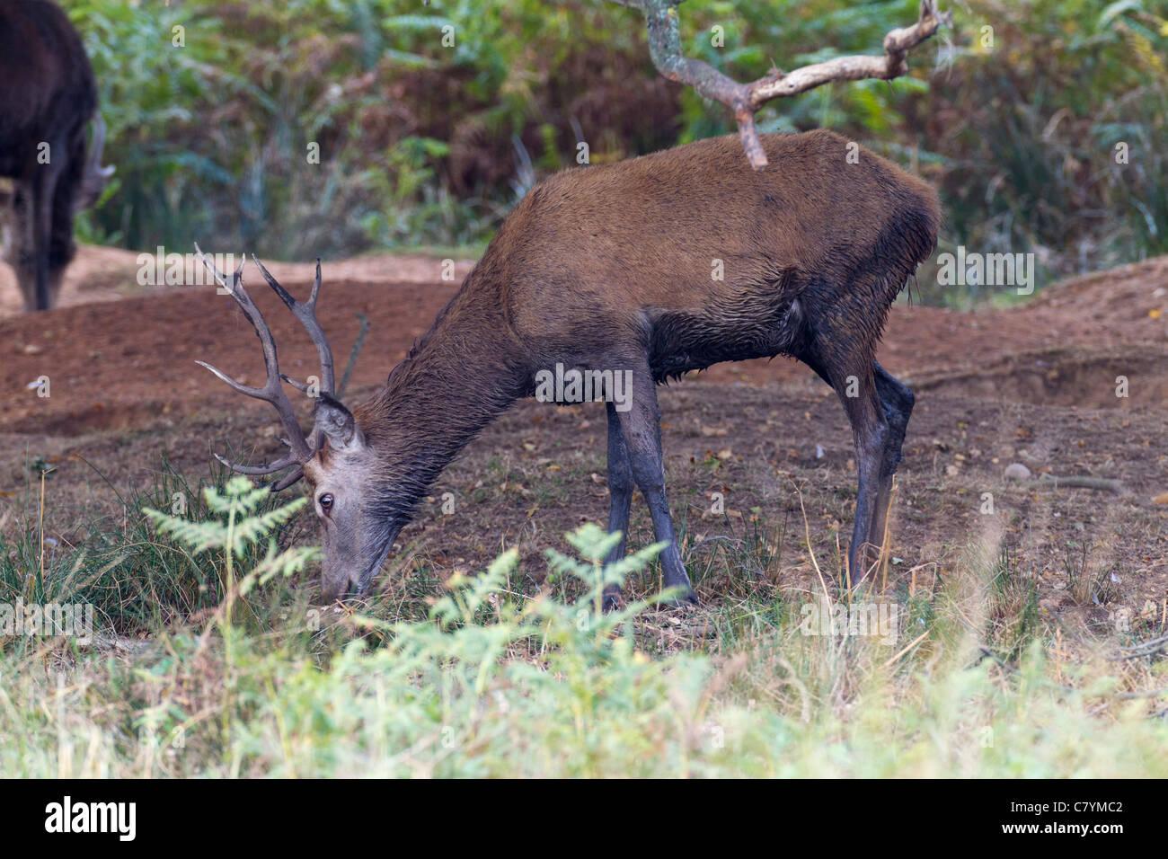 Red Deer Cervus eiaphus (Artiodactyla) - Stock Image