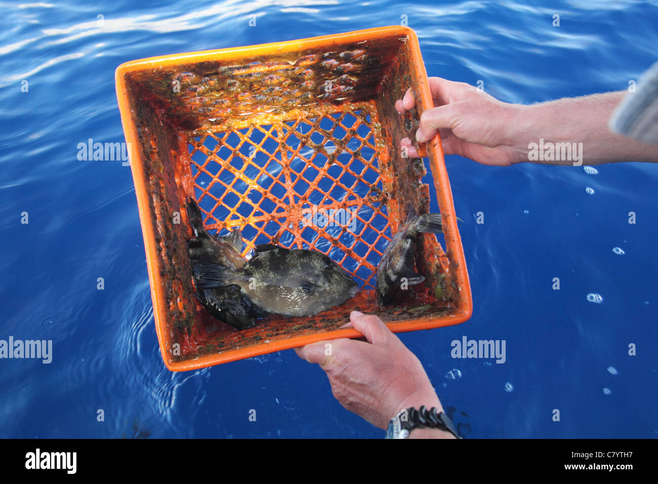 Grey triggerfish Balistes capriscus , sheltering in plastic box found floating on ocean surface, Azores August. - Stock Image