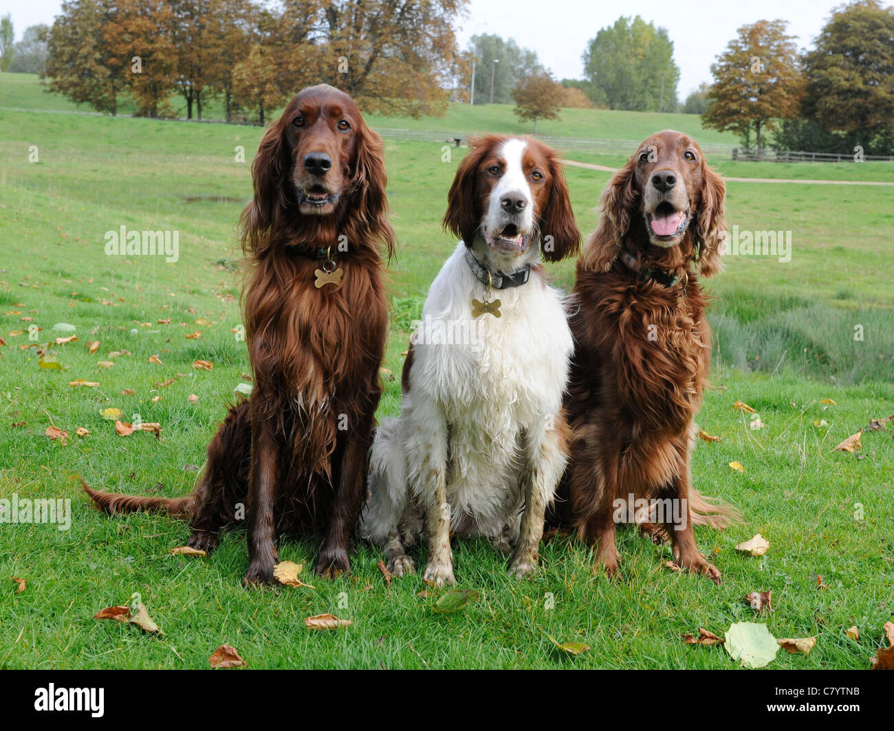 Three English setters sitting on the grass - Stock Image