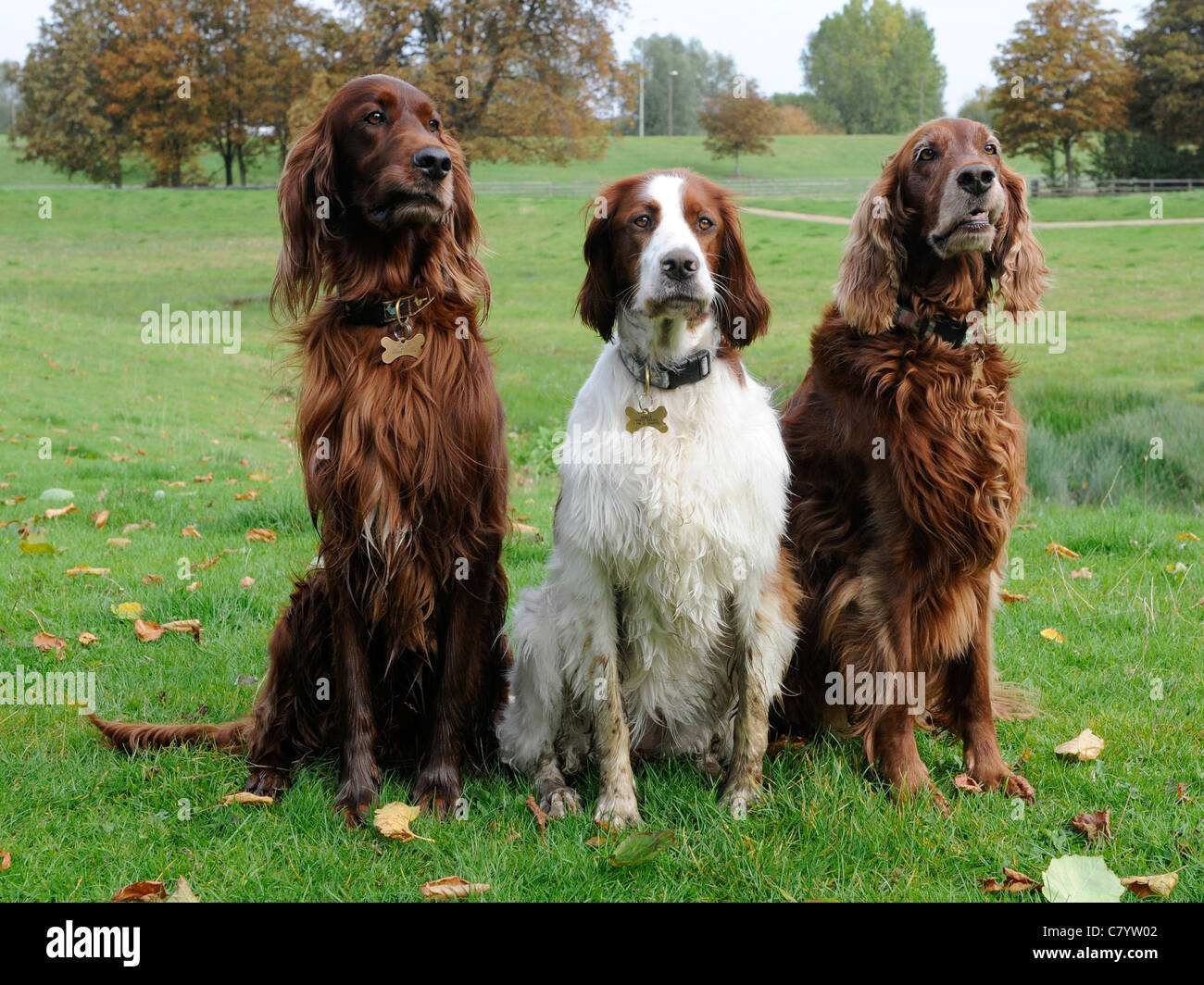 Three English setters pulling silly faces - Stock Image