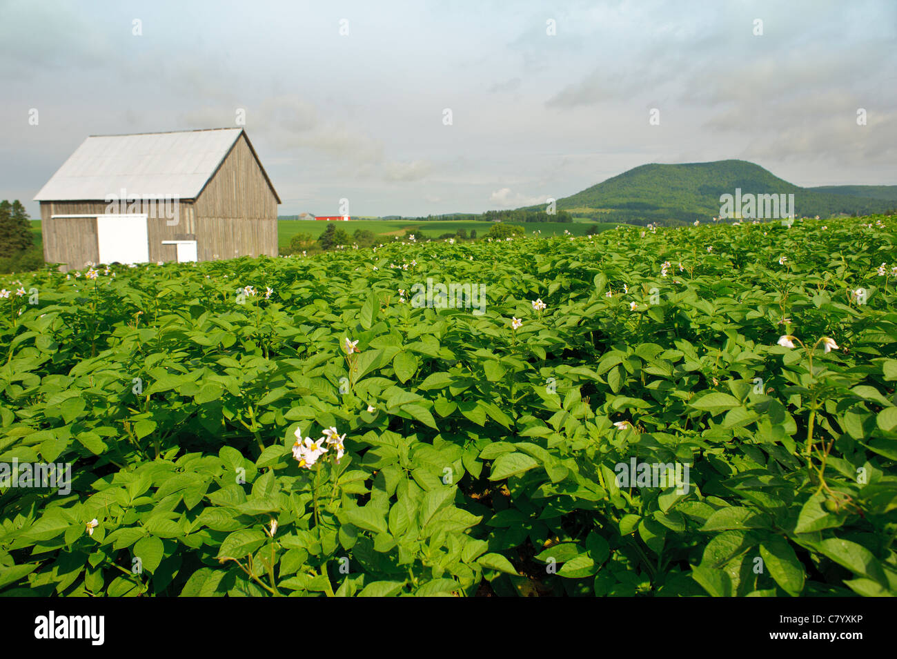 Potato field and old wooden ba...