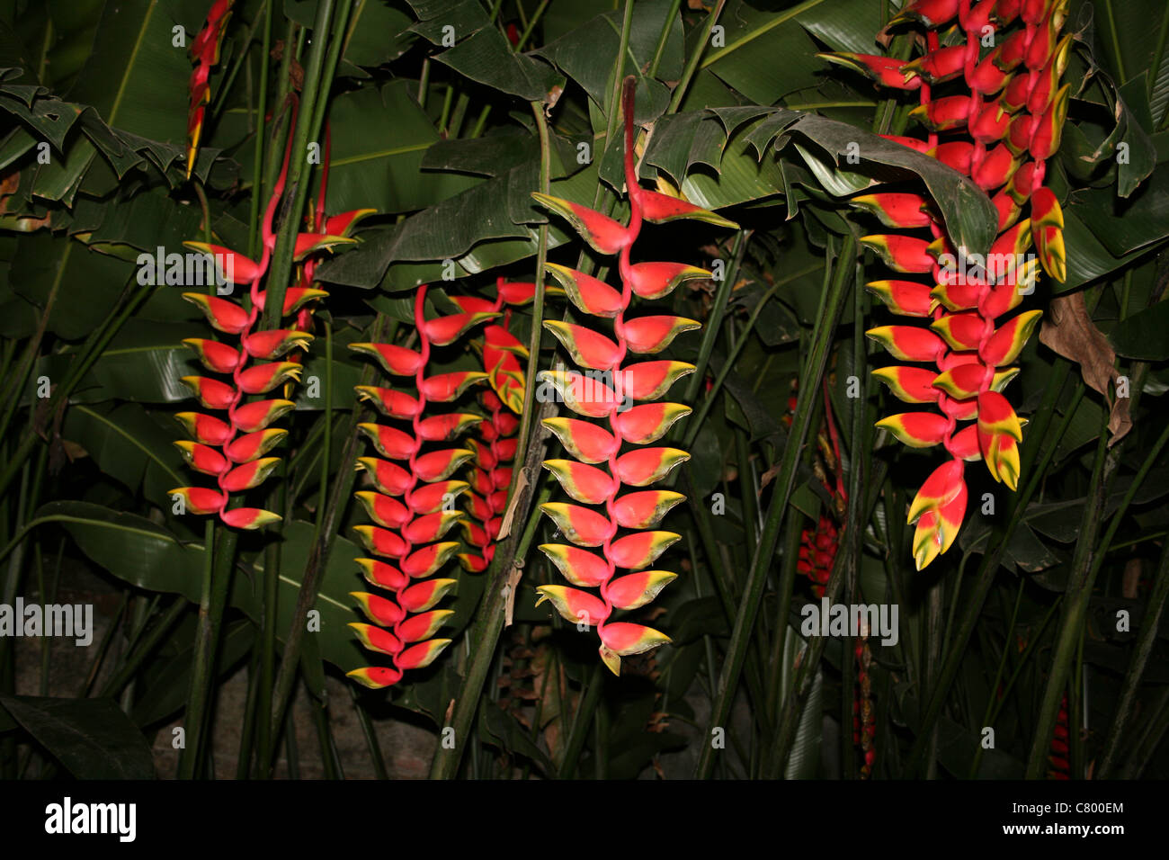 Lobster Claw Plant Heliconia pendula - Stock Image