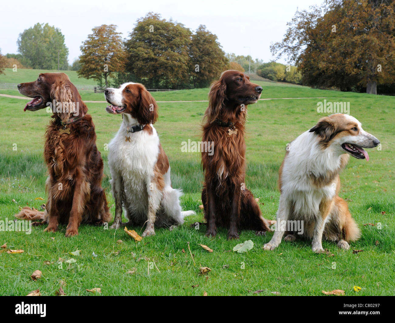 A group of dogs that are not obedient and are looking in different directions Stock Photo