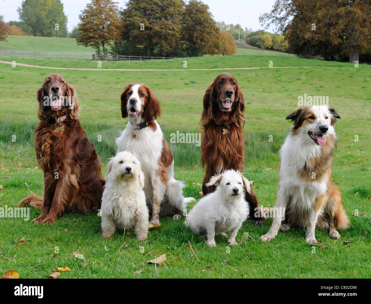 A group of 6 obedient dogs all sitting down, different breeds - Stock Image