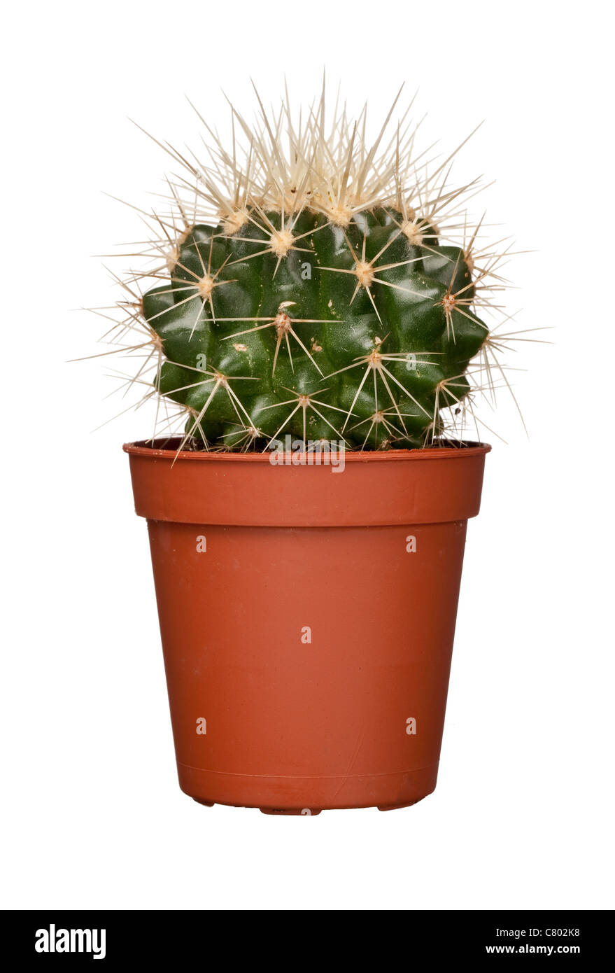 Cactus, studio shot - Stock Image