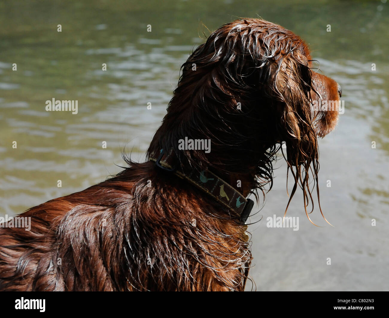 A red setter that has been swimming Stock Photo