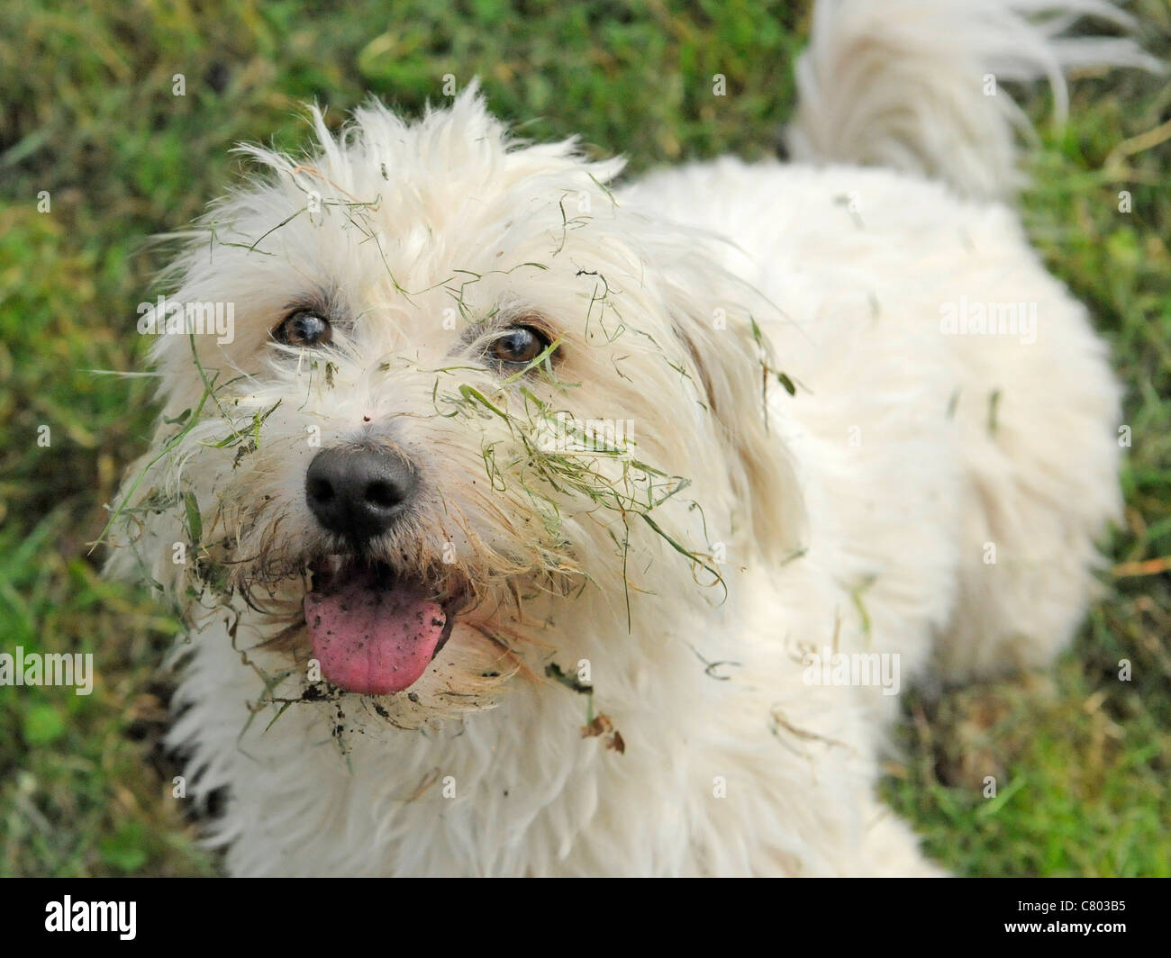 A white bichon frise with a muddy face - Stock Image