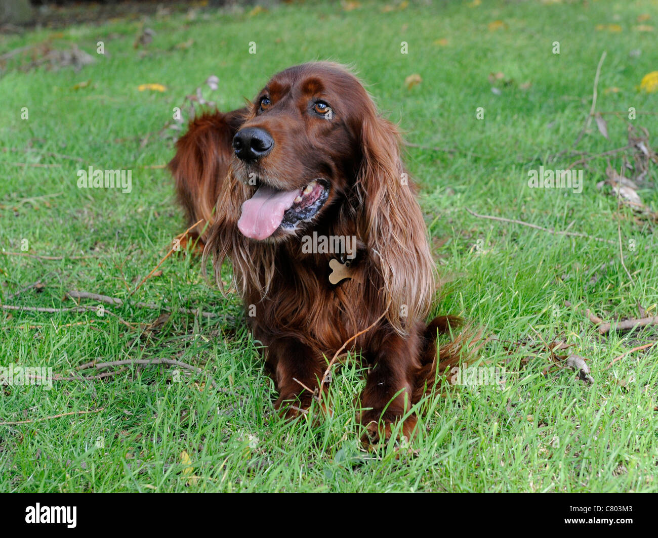 An English red setter sitting on the grass being obedient - Stock Image