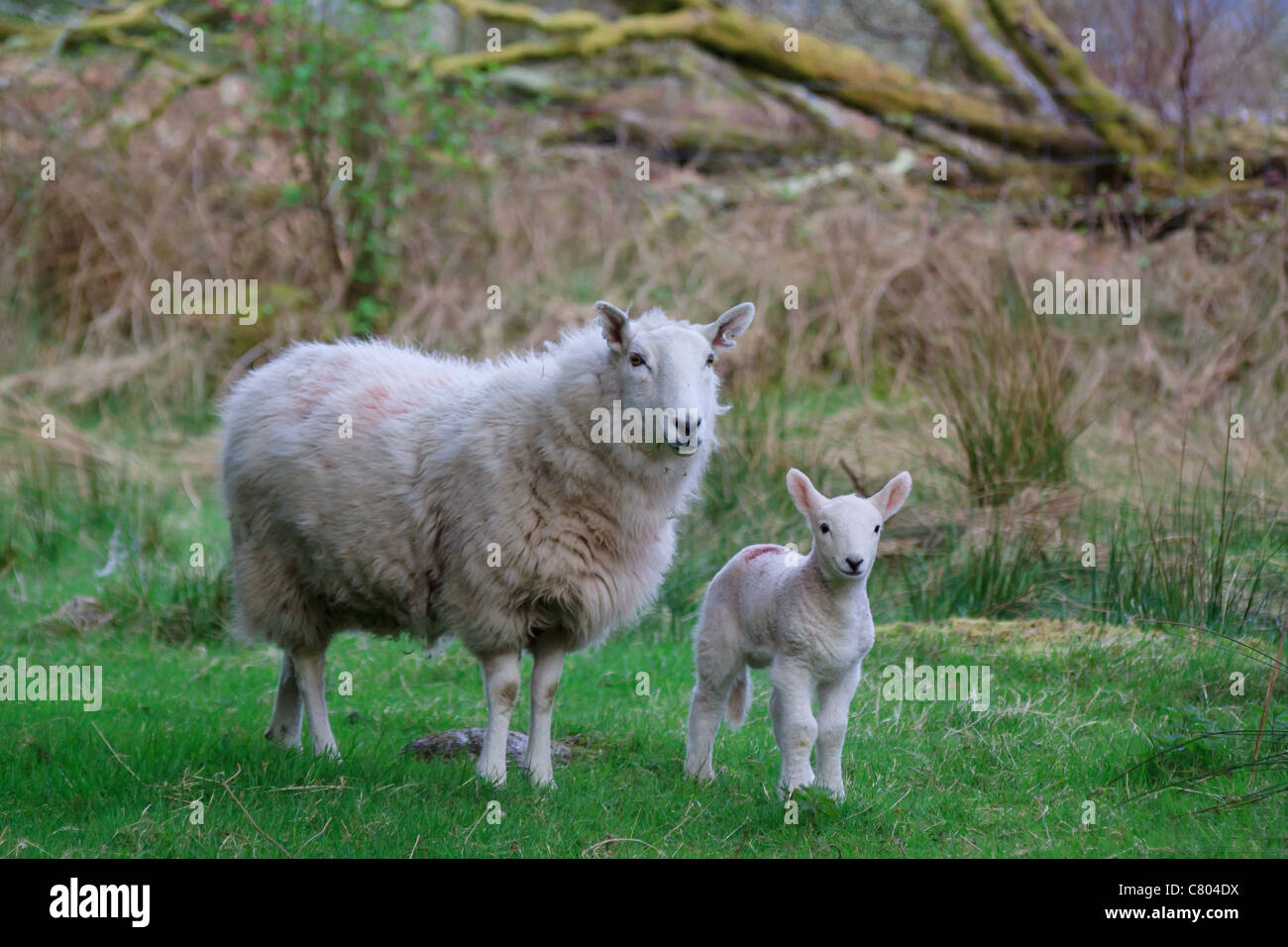 Spring lamb and ewe standing in a field (Ovis aries) - Stock Image