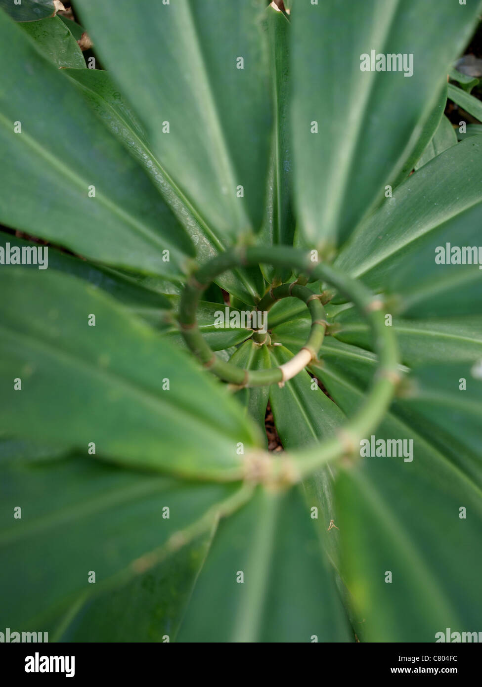 Spiral plant - Stock Image