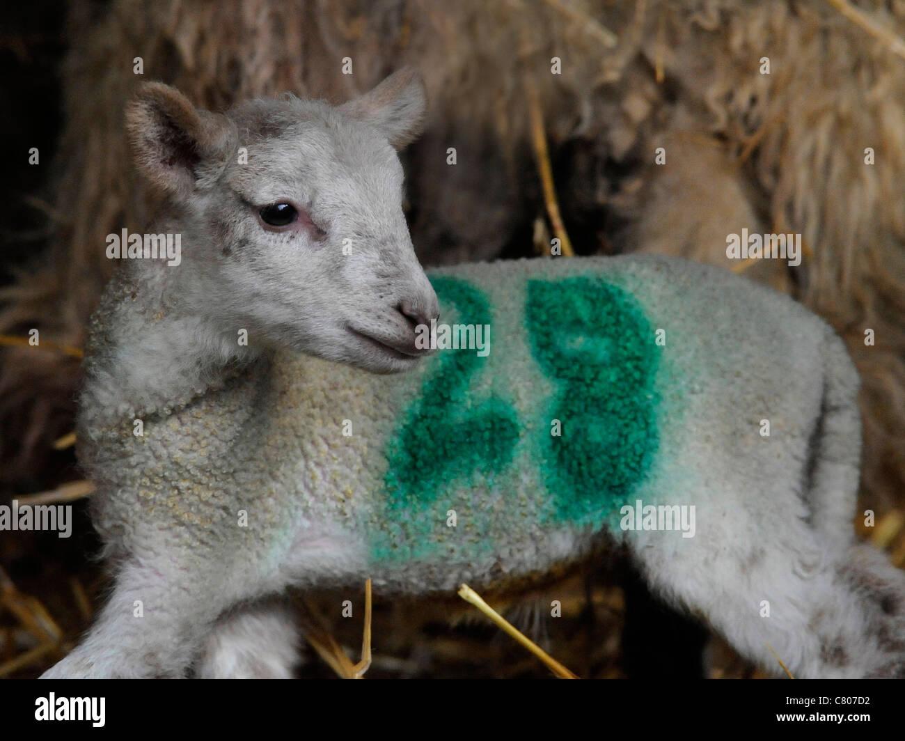 A small newborn lamb in a barn - Stock Image