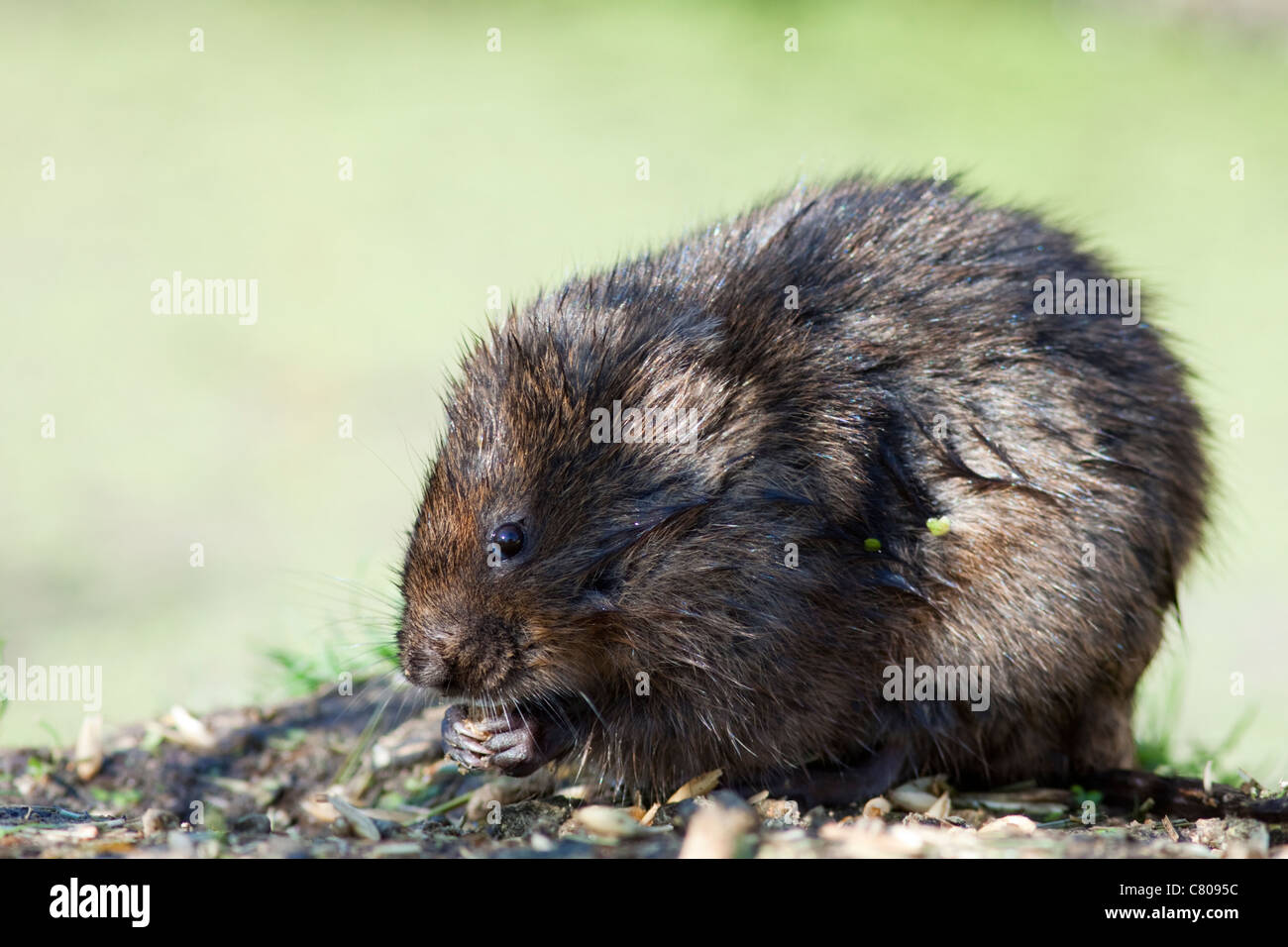 Water vole (Arvicola terrestris), captive animal owned by the British Wildlife Centre, Lingfield, Surrey, England, - Stock Image