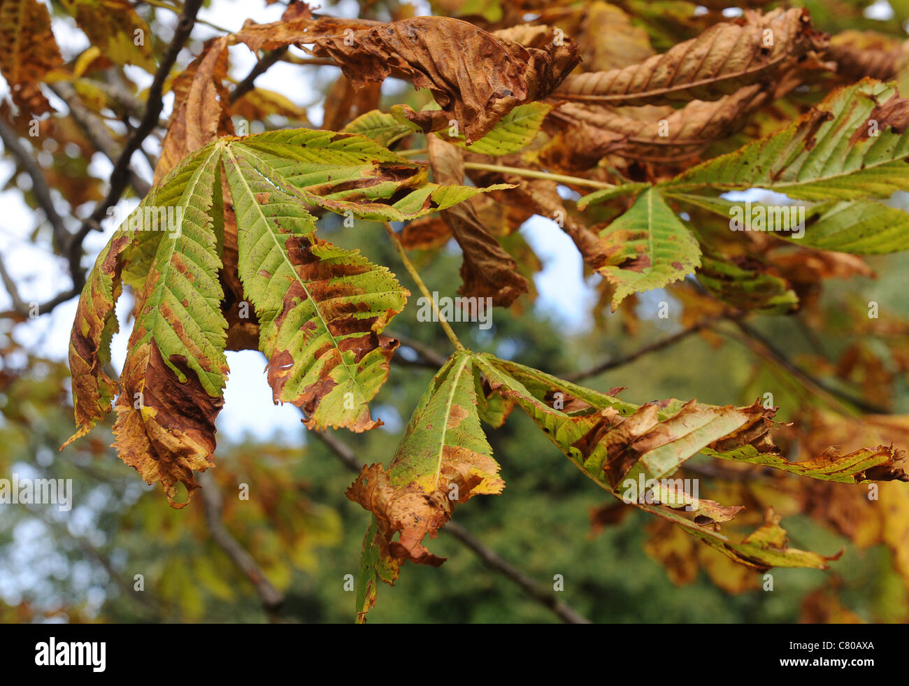 Diseased Horse Chestnut (aesculus hippocastanum) leaves showing brown pattern caused by horse chestnut leaf miner - Stock Image