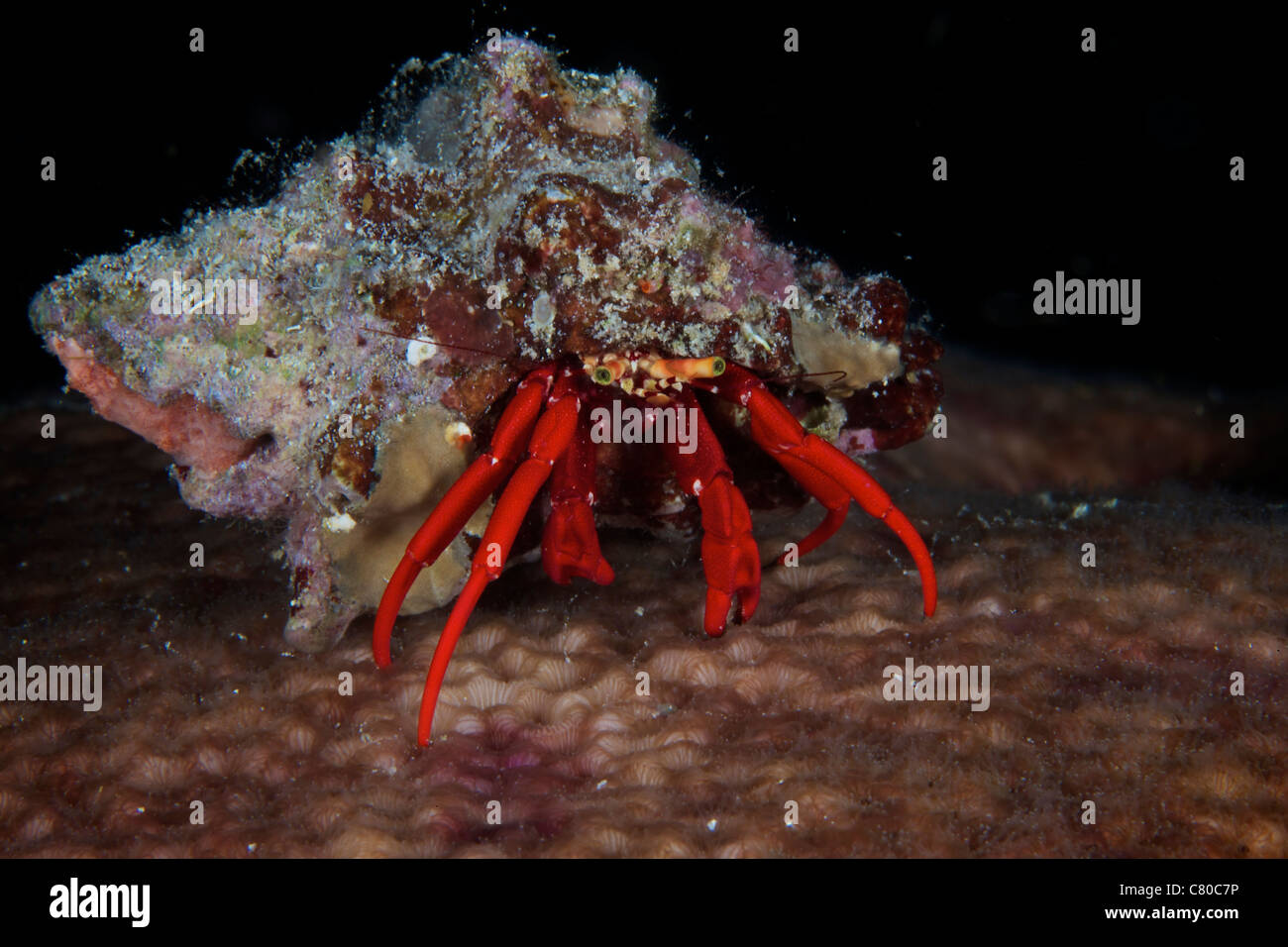 Red Reef Hermit Crab peeks out of its shell, Bonaire, Caribbean Netherlands. - Stock Image