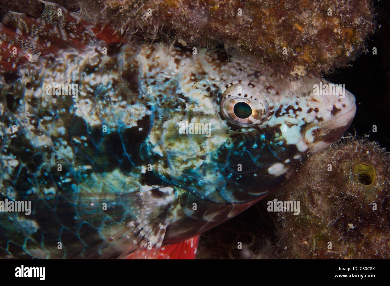 Stoplight parrotfish sleeping at night, Bonaire, Caribbean Netherlands. - Stock Image
