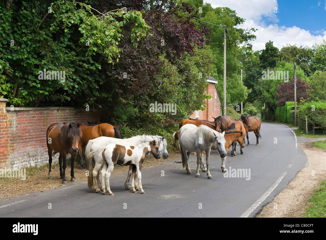 New Forest ponies blocking the road in the village of Burley, New Forest, Hampshire, England, UK - Stock Image