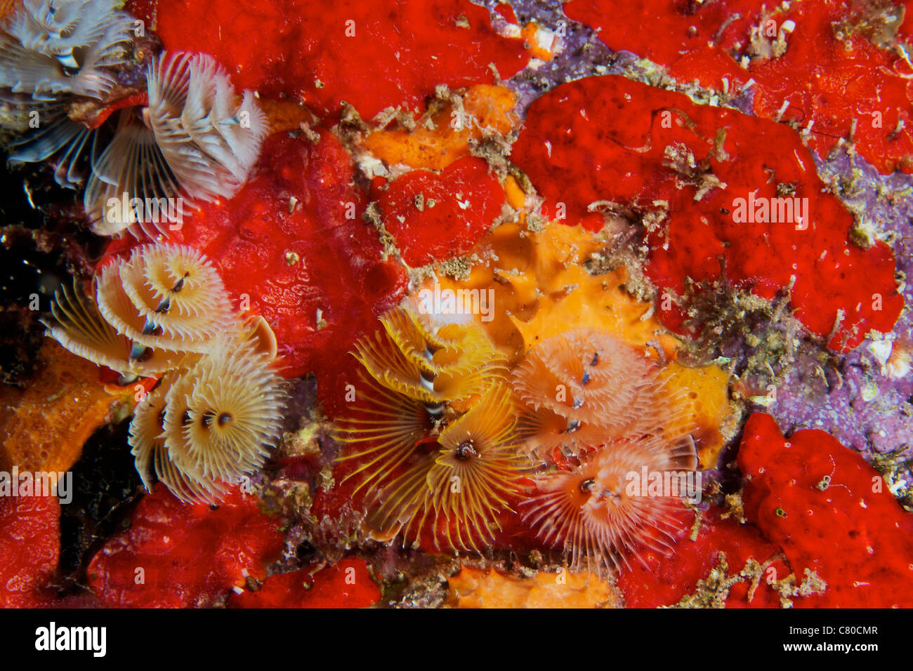 Christmas Tree Worms, Bonaire, Caribbean Netherlands. - Stock Image