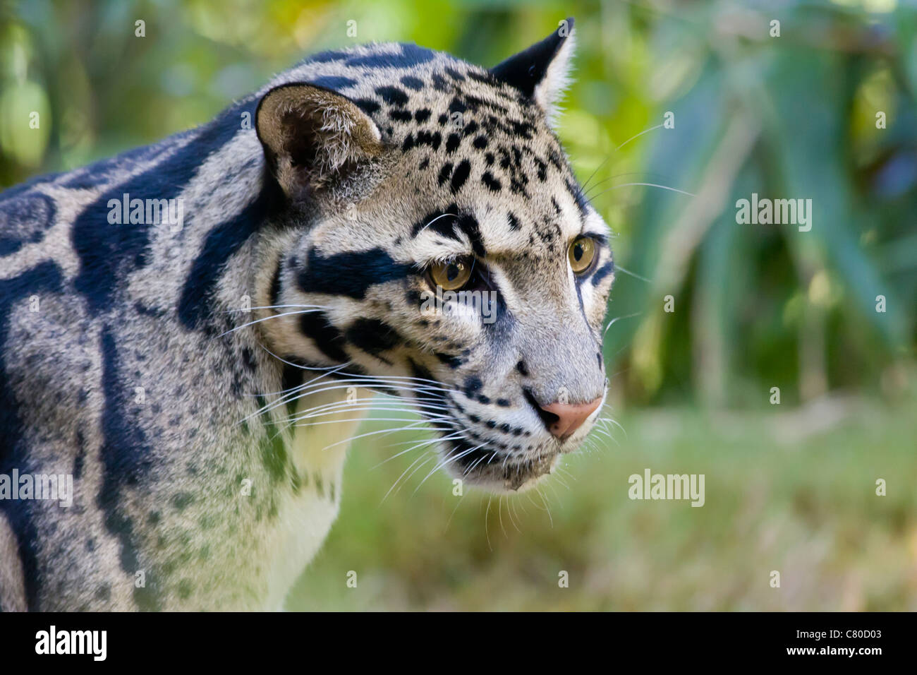 Clouded Leopard - Neofelis Nebuloso - Stock Image
