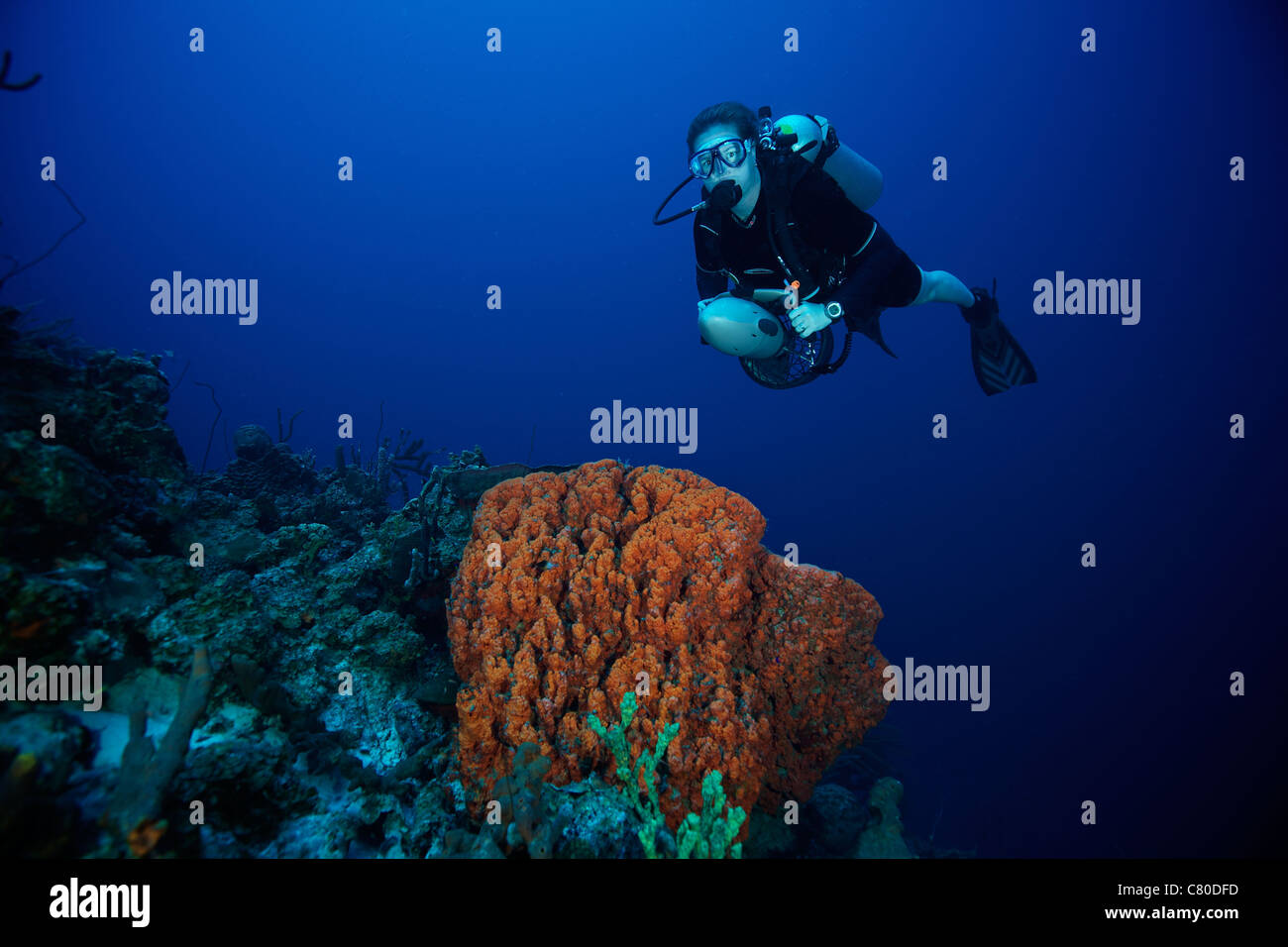 Scuba diver swims over a large elephant ear sponge off the coast of Bonaire, Caribbean Netherlands. - Stock Image