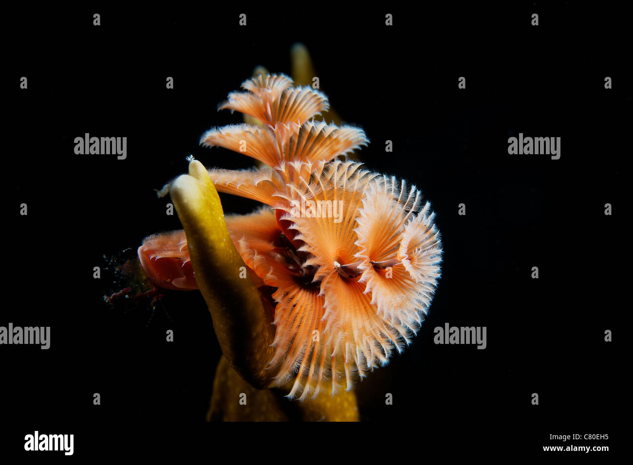 Christmas Tree Worm in fire coral, Bonaire, Caribbean Netherlands. - Stock Image
