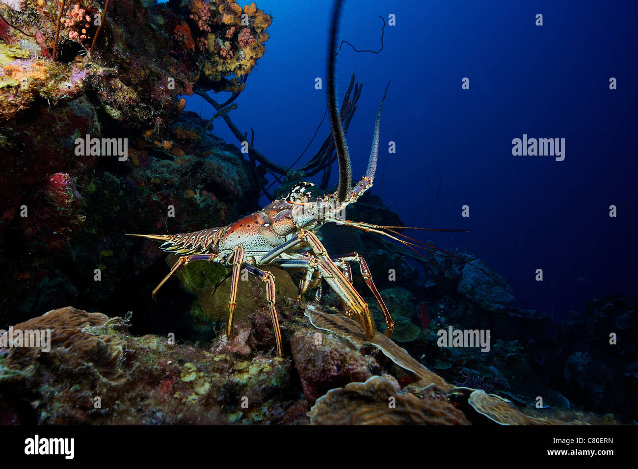 A common spiny lobster backs his way into the protection of the reef, Bonaire, Caribbean Netherlands. Stock Photo