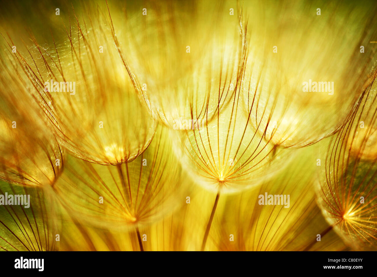 Soft dandelions flower, extreme closeup, abstract spring nature background - Stock Image