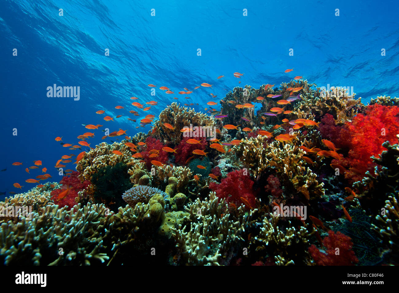 A school of orange basslets (Pseudanthias squamipinnis) on a healthy coral reef, Fiji. - Stock Image