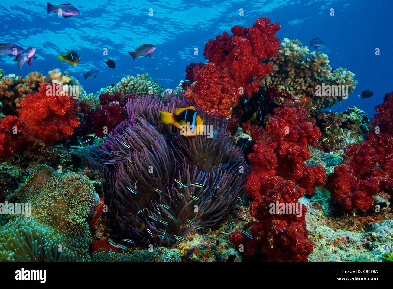 Coral Reef Fish Stock Photos & Coral Reef Fish Stock Images - Alamy