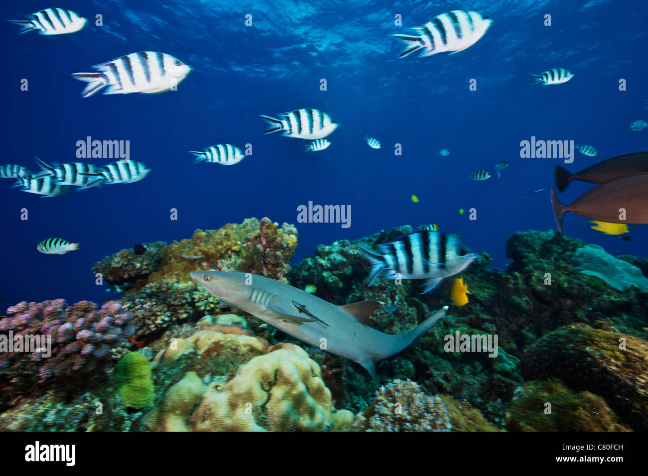 A Whitetip Reef Shark glides over the reef through a school of Scissortail Sergeant Major fish, Fiji. Stock Photo