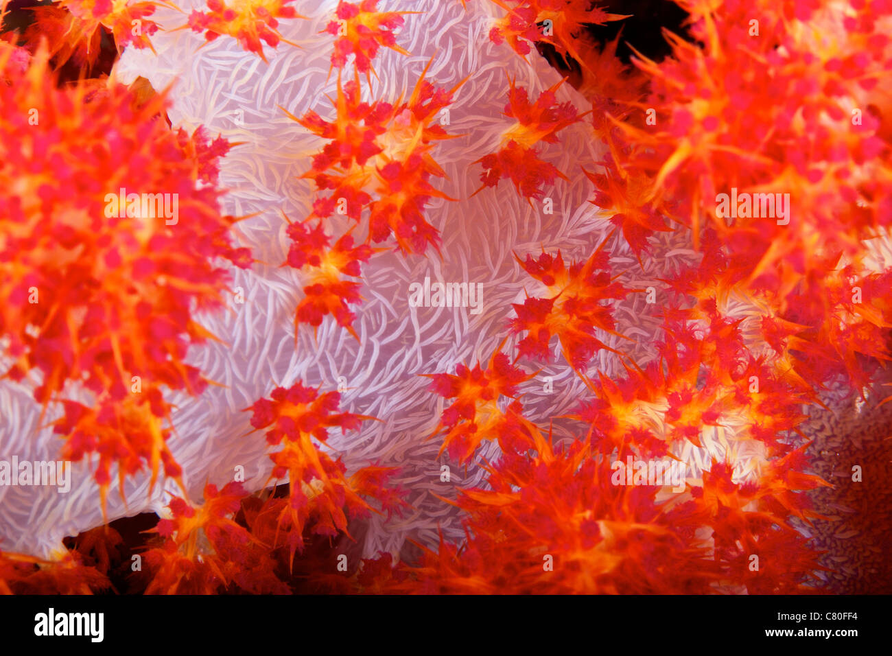 Detailed view of soft coral revealing the spicules that give stability to its form, Fiji. - Stock Image
