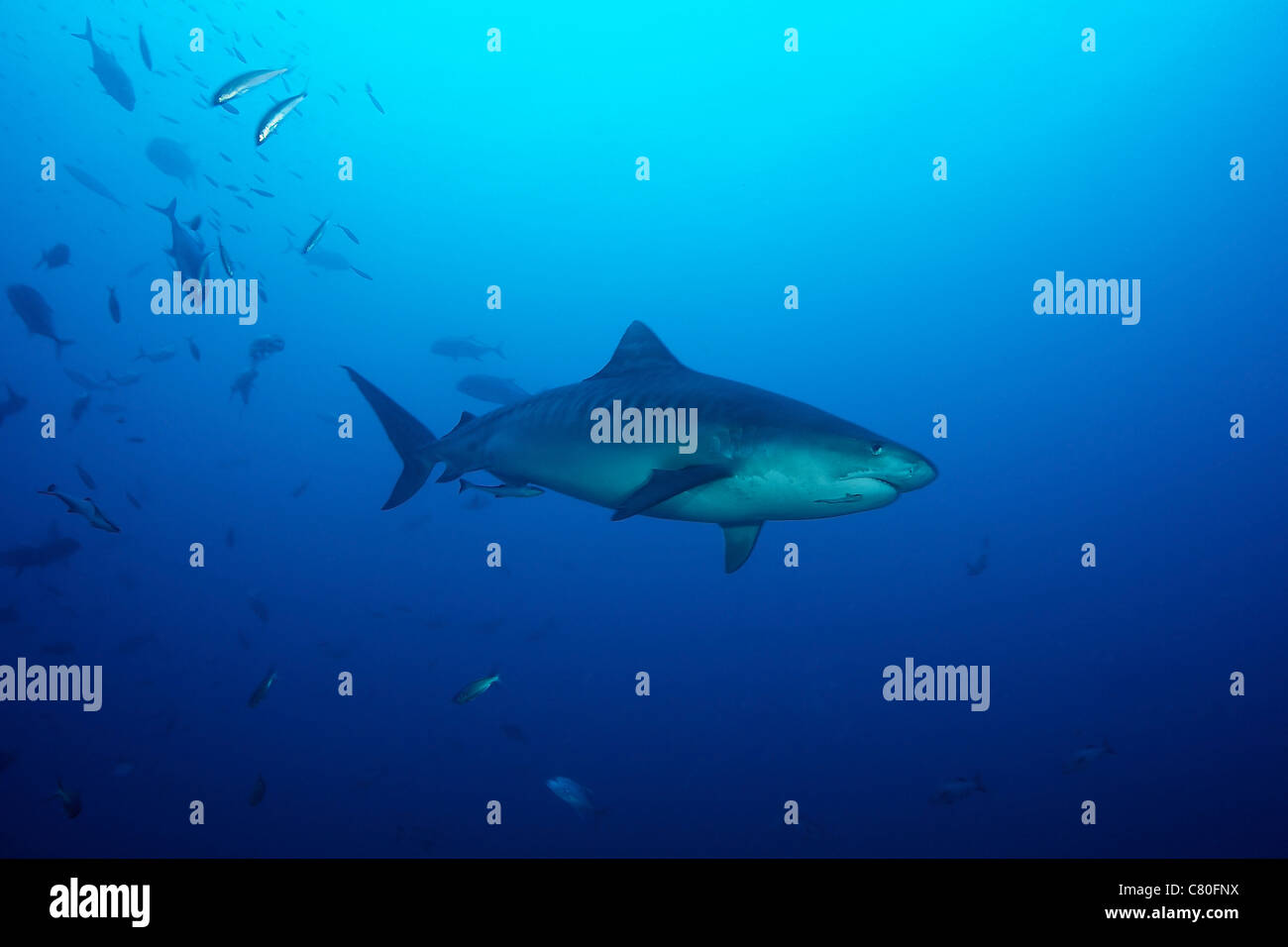 A large 10 foot Tiger Shark swims into the feeding zone, Fiji. - Stock Image